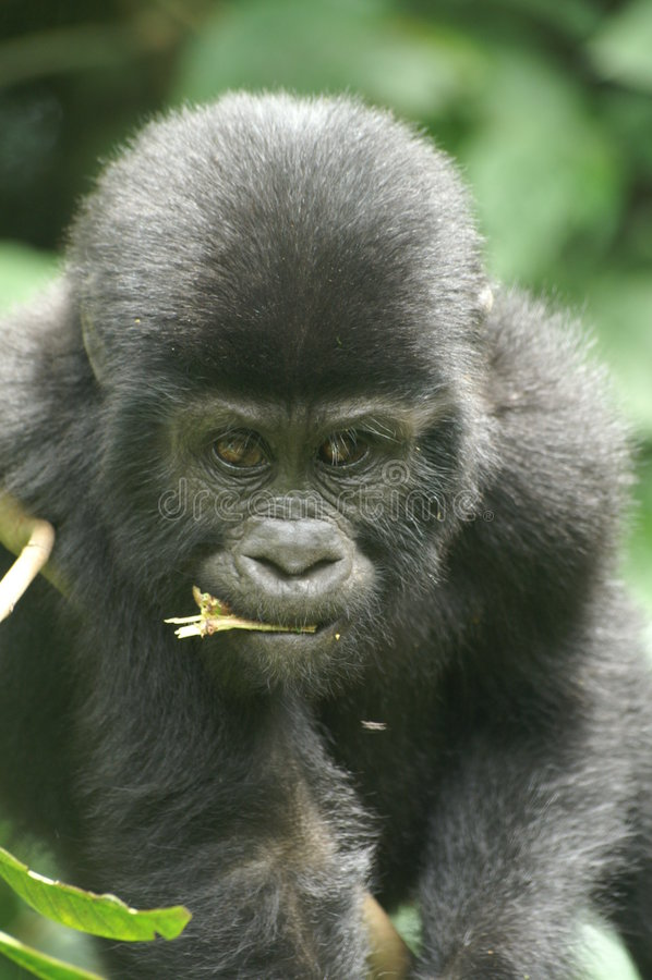 Mountain Gorilla royalty free stock photography