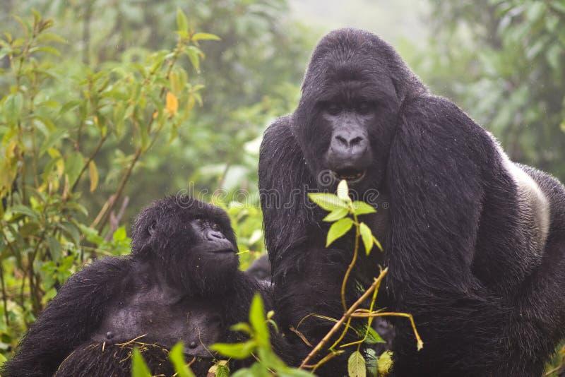 Mountain Gorilla's royalty free stock images