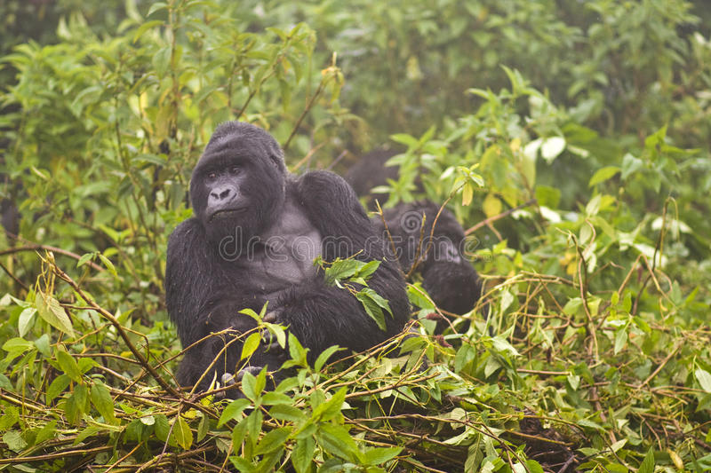 Mountain Gorilla s