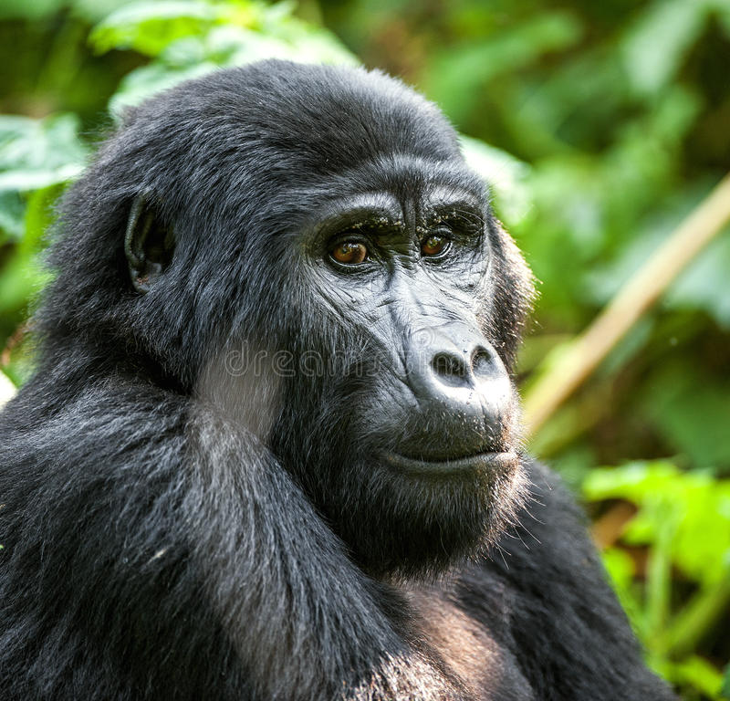 Mountain gorilla at a short distance in natural habitat. Close up Portrait of a mountain gorilla at a short distance in natural habitat. The mountain gorilla ( stock images