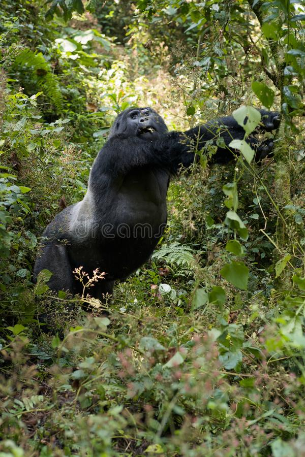 Mountain Gorilla Standing Upright. Mountain Gorilla standing up and stretching in Bwindi National Park, Uganda royalty free stock images
