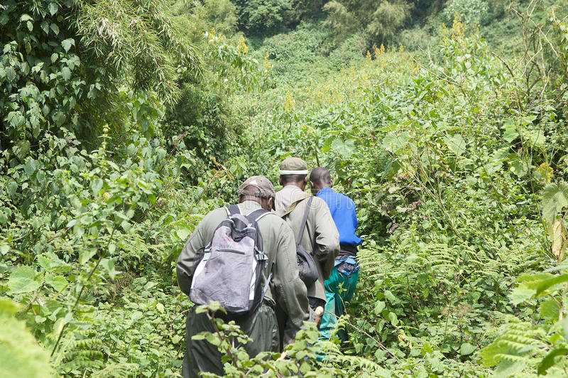 Mountain gorilla Trekking in the forest stock images