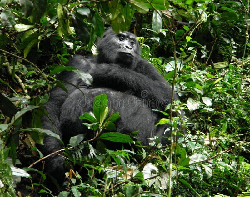 Download Mountain Gorilla in Uganda stock photo. Image of outside - 33091460