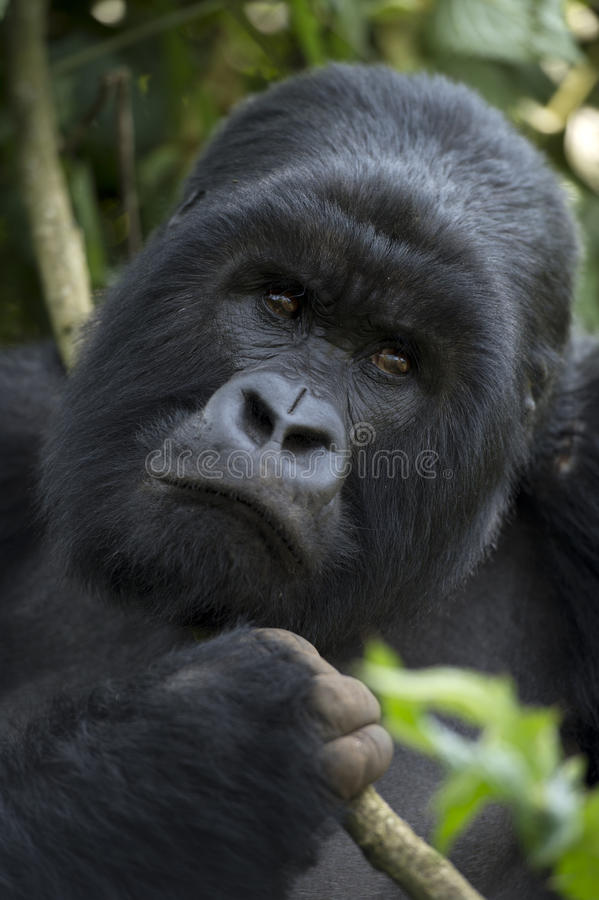 Mountain gorilla in Volcanoes National Park, Rwanda. Male silver-back mountian gorilla, Gorilla gorilla berengei, head and shoulders holding vine royalty free stock photos