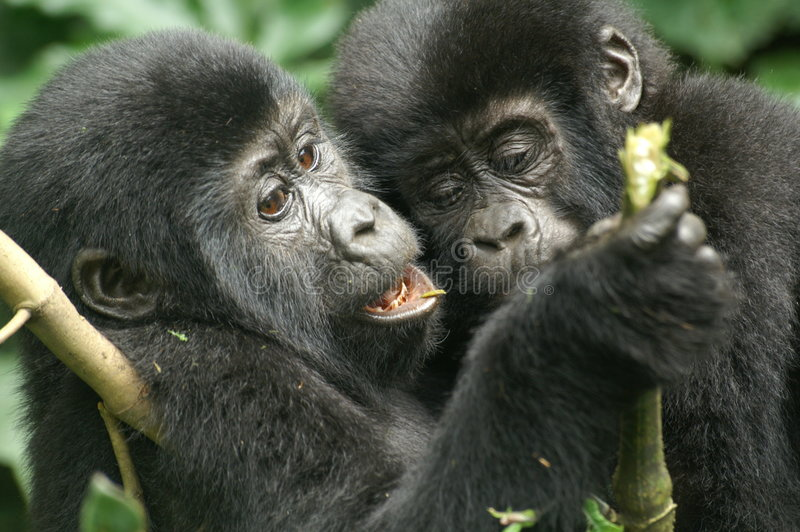 Mountain Gorillas stock photography