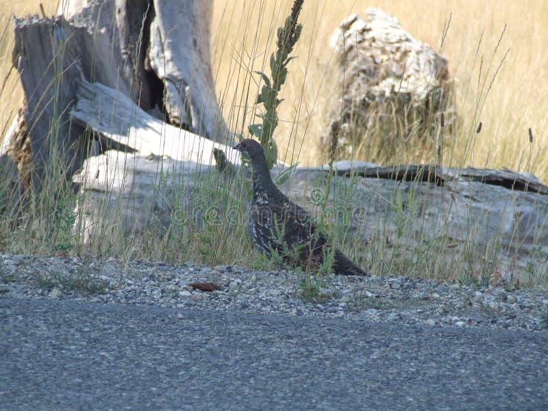 Mountain Grouse stock photo