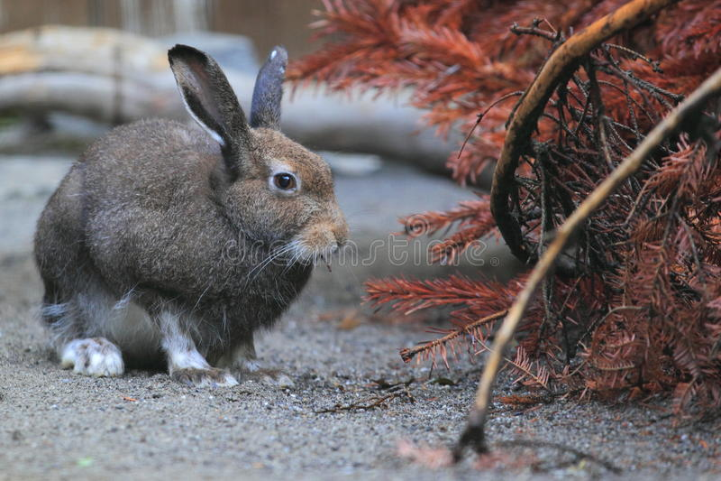 Mountain Hare Stock Image