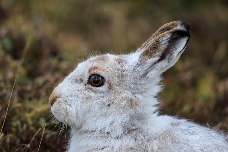 A Mountain hare outside its burrow up close royalty free stock image