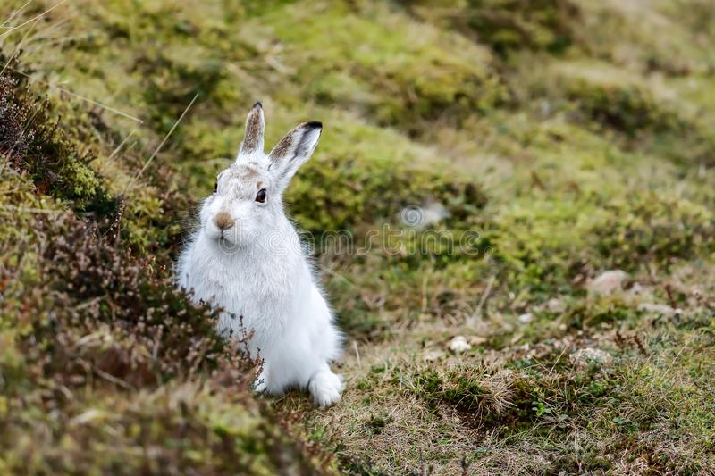 A Mountain hare outside its burrow up close royalty free stock photos