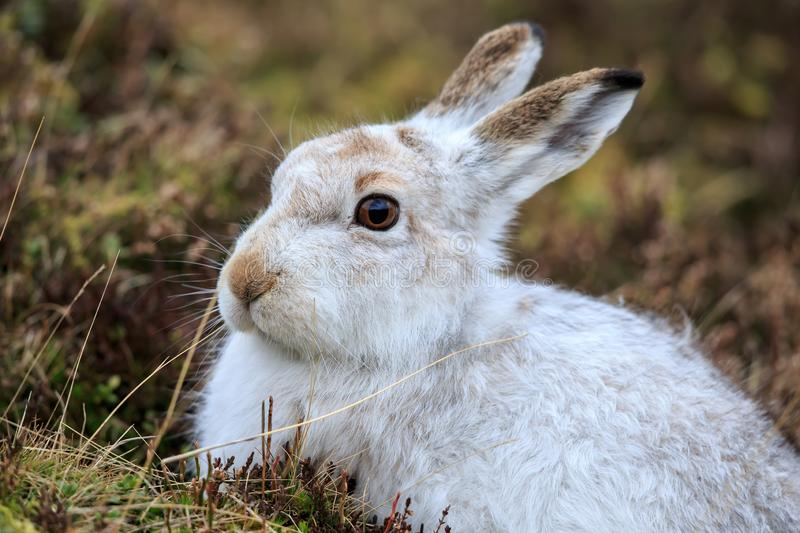 A Mountain hare outside its burrow up close royalty free stock photography