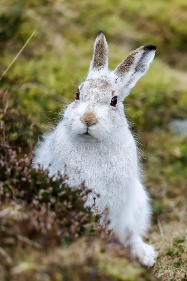 A Mountain hare outside its burrow up close royalty free stock images