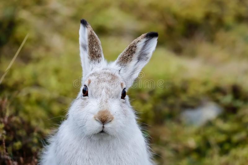 A Mountain hare outside its burrow up close stock photography