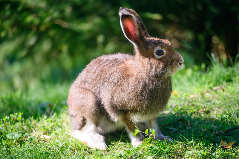 Download Mountain Hare (lat. Lepus Timidus) Stock Image - Image of feet, adult: 27078315