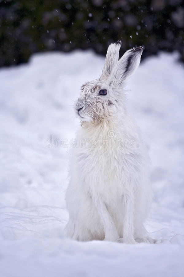 Mountain Hare, Lepre Variabile stock images