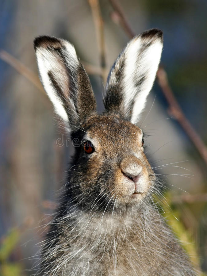 Mountain Hare (Lepus timidus) stock photography