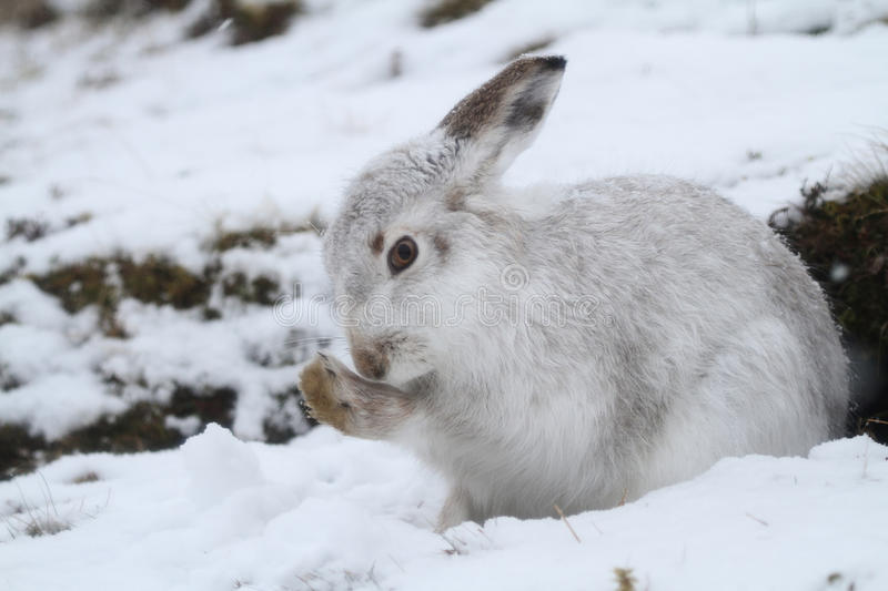 Mountain Hare Lepus timidus in its winter white coat in a snow blizzard high in the Scottish mountains. royalty free stock photos