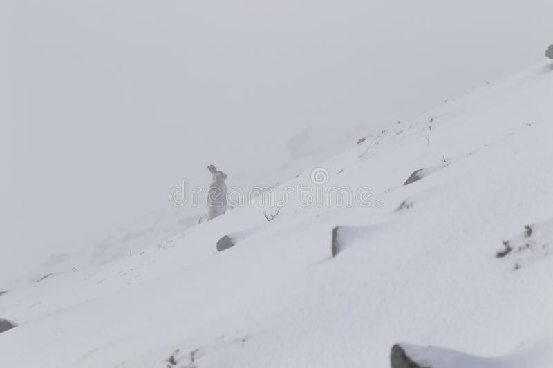 Mountain Hare, Lepus timidus, during October still in summer coat surrounded by snow in the cairngorms NP, scotland. royalty free stock photography