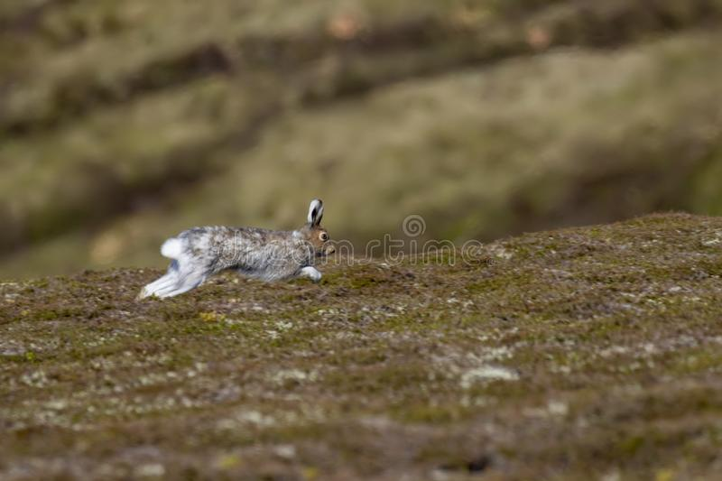 Mountain hare, lepus timidus, sitting on a mountain slope in sunshine , cairngorms national park, scotland. Mountain hare, lepus timidus, sitting on a mountain royalty free stock photography