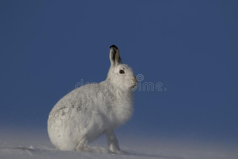 Mountain hare, Lepus timidus, sitting, running on a sunny day in the snow during winter in the cairngorm national park, scotland royalty free stock image