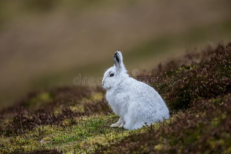 A Mountain hare outside its burrow stock photo