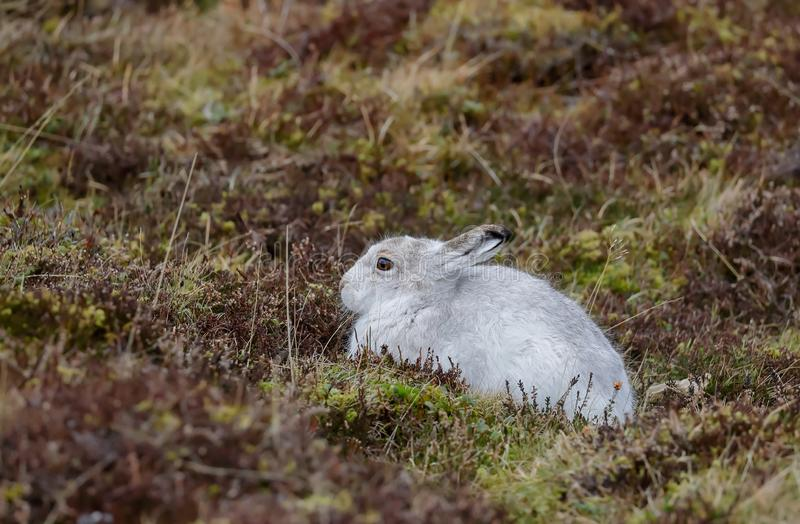 A Mountain hare outside its burrow royalty free stock photos