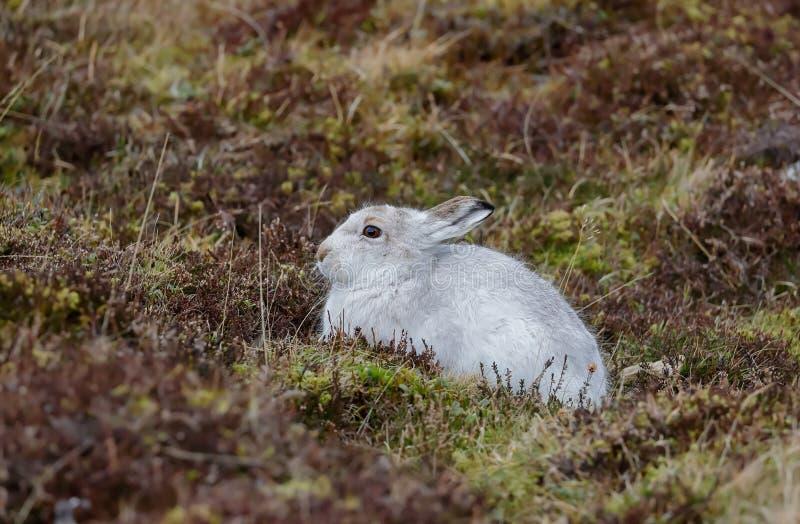 A Mountain hare outside its burrow stock image