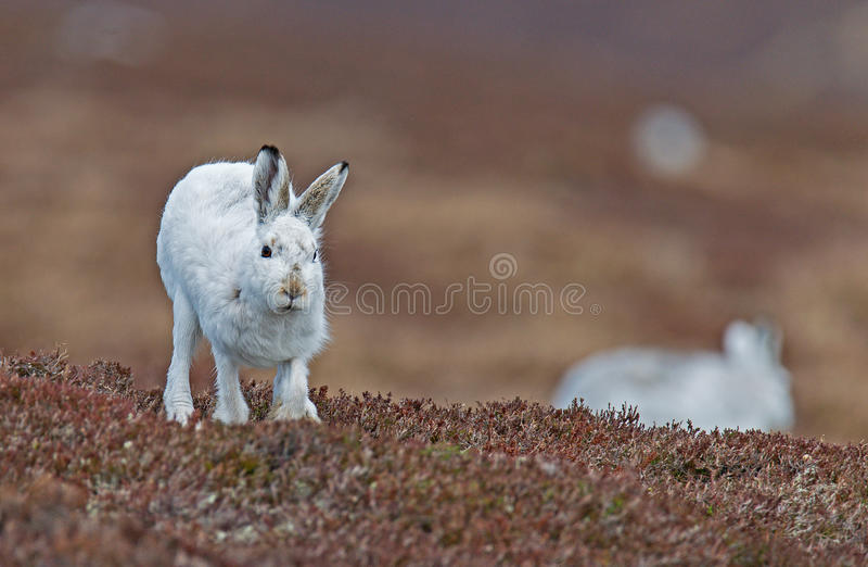 Mountain Hare running towards camera stock image