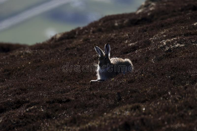 Mountain hare silhouette, Lepus timidus resting on a mountain slope in the cairngorm national park, scotland. stock images