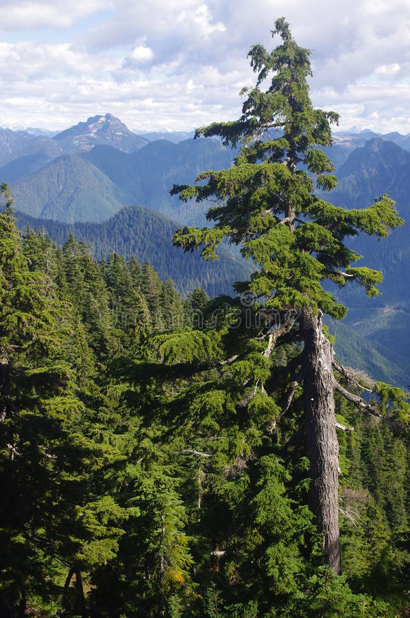 Mountain hemlock. In Northshore mountains, BC, Canada with a view of Cathedral Mountain stock image