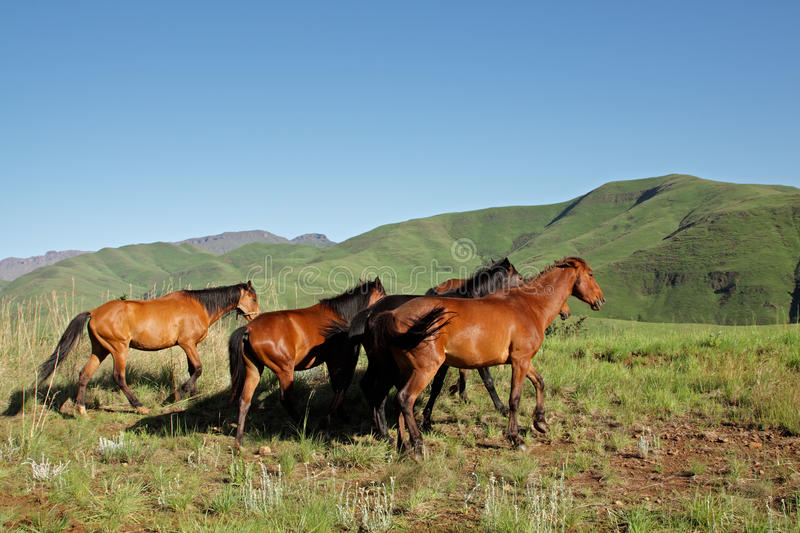 Download Mountain Horses, South Africa Royalty Free Stock Image - Image: 12677446