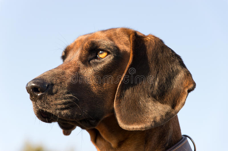 Mountain Cur Hound stock photo. Image of yard, watchdog ...