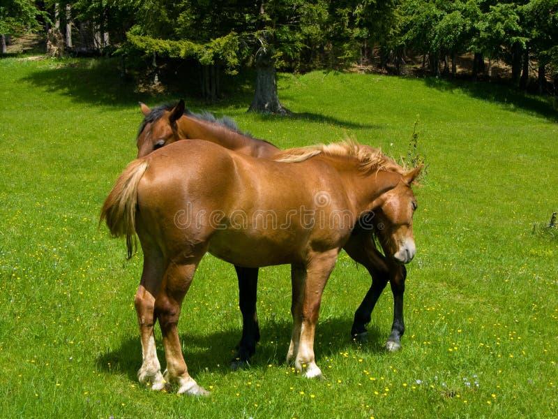 Mountain Husbandry Of Horses Stock Images