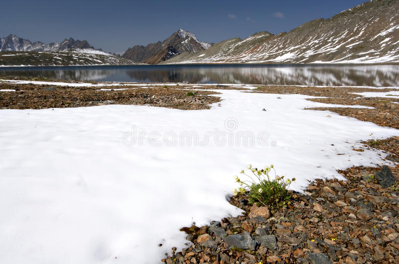 Mountain lake, snow, stones and yellow flowers royalty free stock images