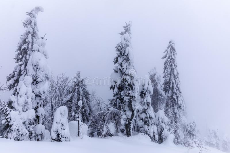 Mountain landscape with fir trees covered in snow. Winter day stock photo