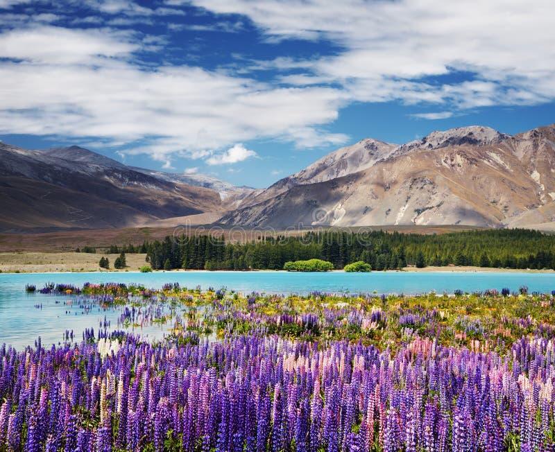 Lake Tekapo, New Zealand. Mountain landscape with flowering lupins, lake Tekapo, New Zealand stock photography