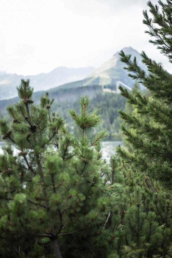 Mountain landscape with spruce in foreground stock images