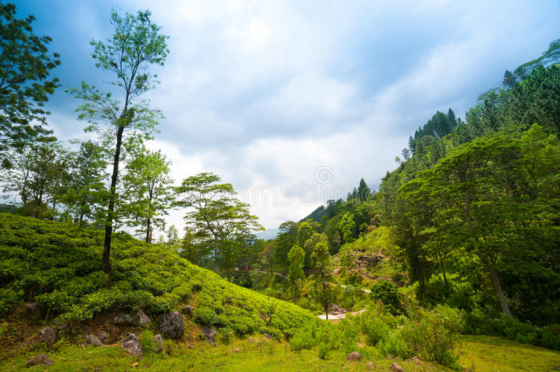 Mountain landscape with tea plantations royalty free stock images