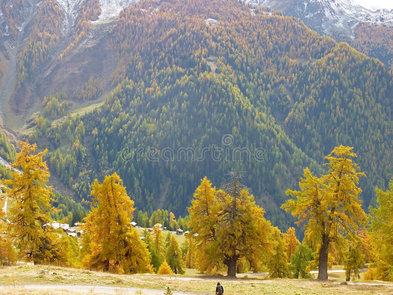 Mountain Larches. In the fall, with the needles beginning to turn golden, and snow on the hills royalty free stock photo