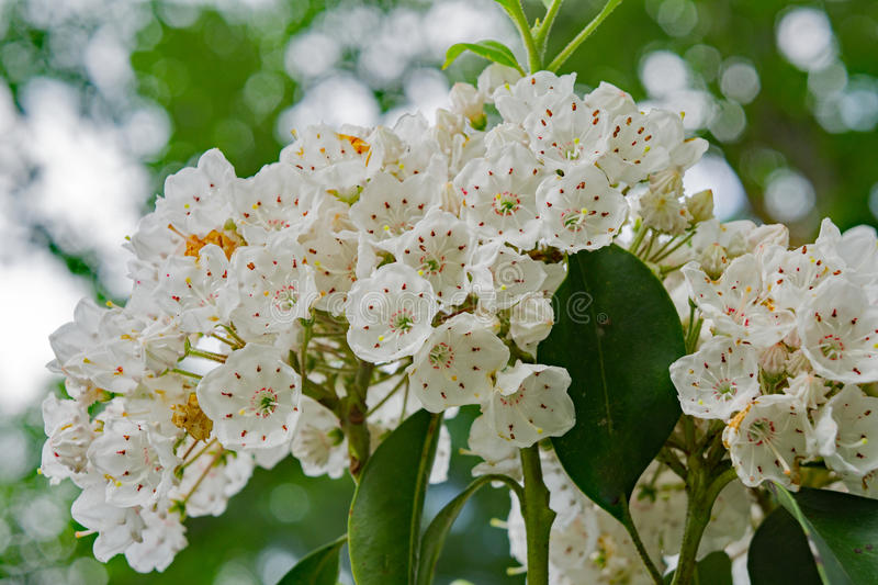 Mountain Laurel – Kalmia latifolia. Close-up of a cluster of Mountain Laurel flowers located in the Blue Ridge Mountains of Virginia, USA stock photography