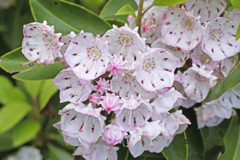 Mountain Laurel in Bloom. Along the Blue Ridge Parkway in North Carolina royalty free stock photos