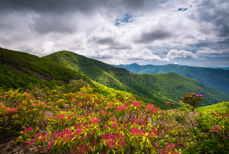 Mountain Laurel Spring Flowers Blooming in Appalachian Mountains. Mountain Laurel Spring Flowers Blooming in the Appalachian Mountains near Asheville North royalty free stock image