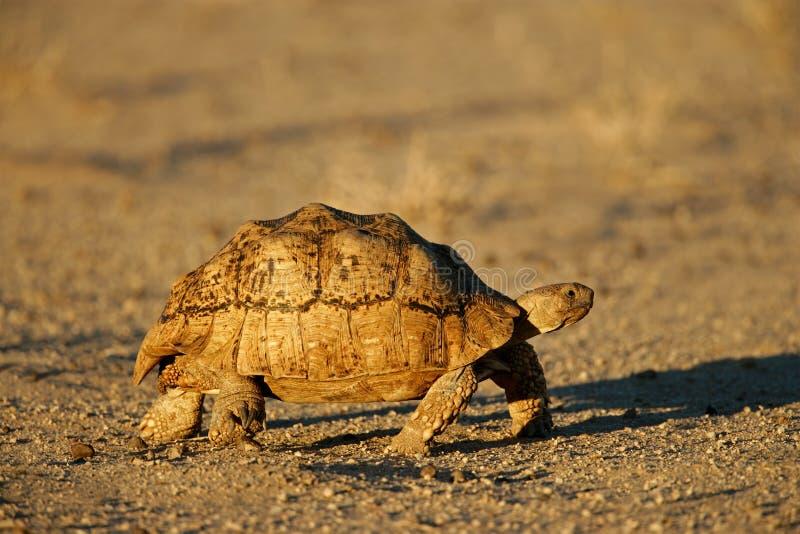 Mountain (leopard) tortoise, South Africa. Mountain or leopard tortoise (Geochelone pardalis) , Kalahari desert, South Africa stock photos