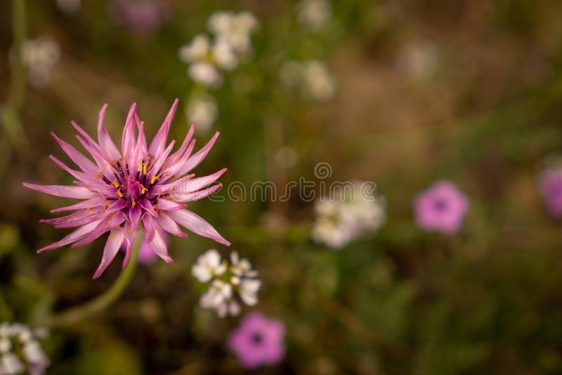 A mountain lettuce in bloom in the desert royalty free stock photos