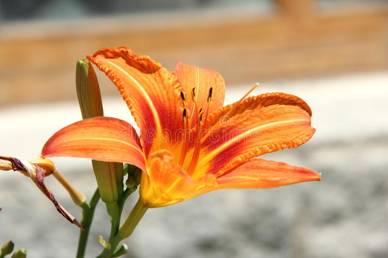Mountain Lily. stock images