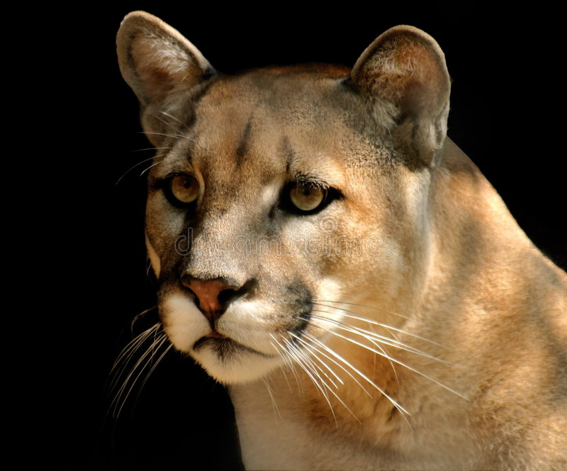 Download Mountain Lion stock photo. Image of powerful, catamount - 112548