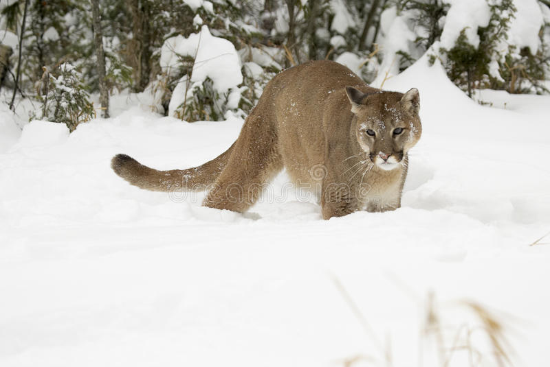 Download Mountain Lion stock image. Image of beast, creature, panther - 13151477
