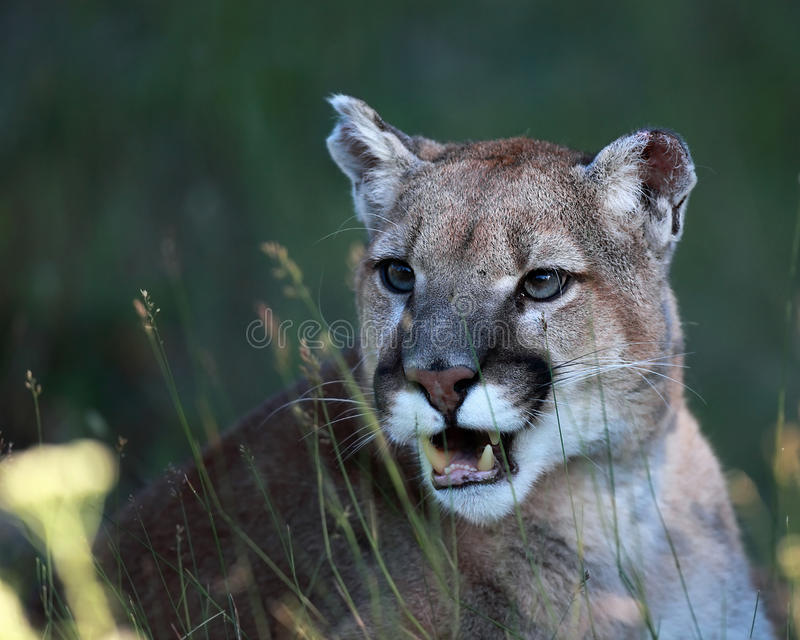 Download Mountain Lion stock image. Image of feline, wild, cougar - 16517981
