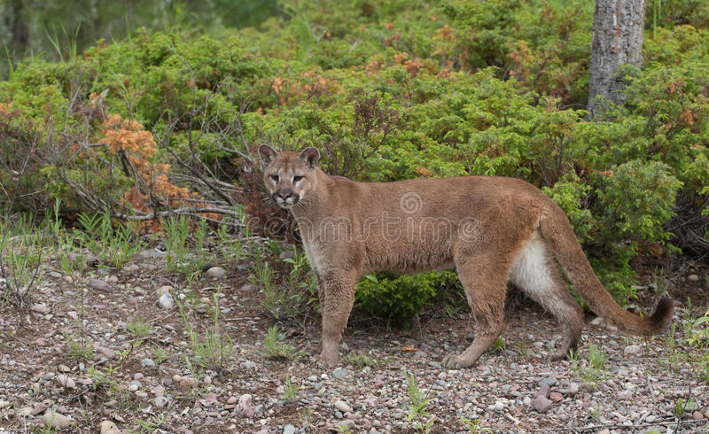 Download Mountain Lion stock photo. Image of loner, mascot, state - 26831476