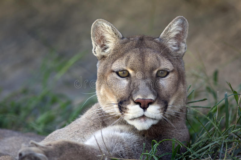 Mountain Lion stock image