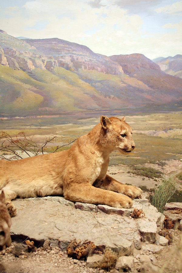 Download Mountain Lion stock image. Image of hunt, taxidermy, predator - 4633263